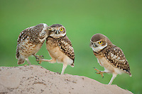 The newly fledged Burrowing Owl chicks (each balancing on one leg, with the female  grooming one) can't fly yet, having emerged from their den only three days before. Pantanal, Brazil.