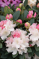 Rhododendron Dreamland in white and pink flowers
