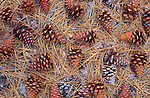 Pine cones and needles on forest floor, Figueroa Mountain, Los Padres National Forest, California USA