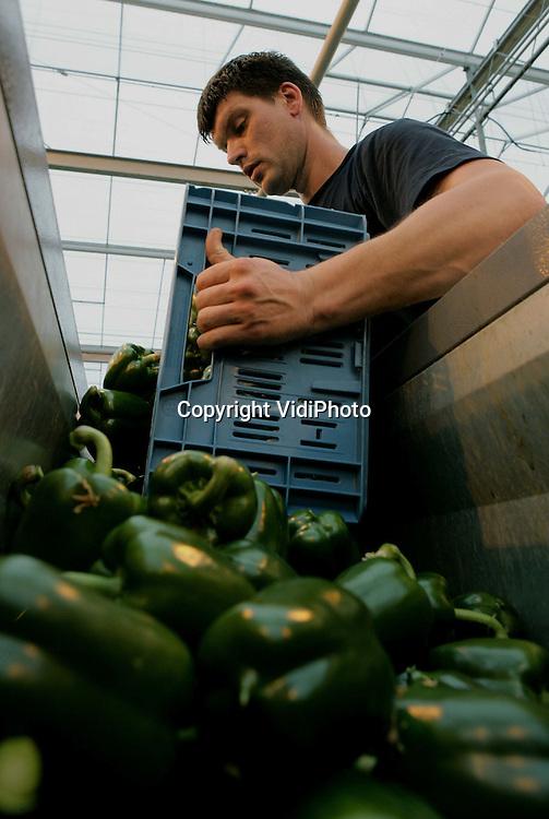 Foto: VidiPhoto..BEMMEL - Paprikateler Van der Harg-van Winden uit Bemmel is dinsdag begonnen met de oogst van de vroege (belichte) paprika's. De paprika's zijn bestemd voor de Nederlandse supermarkten. Door hogere productie en import uit Spanje, Marokko en Israël zijn de consumentenprijzen op dit moment zo laag, dat diverse telers dit jaar failliet zullen gaan. Van der Harg denkt met 8,5 ha kassen het hoofd boven water te kunnen houden, ondanks dat er nu onder de kostprijs wordt geproduceerd.