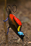Wilson's Bird of Paradise.(Cicinnnurus respublica) adult male displaying to a female above.