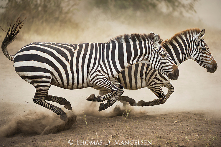 zebras running from predator - photo #5
