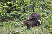 Brown Bears ,Ursus arctos, mating, Bavarian Forest National Park, Germany, Europe.