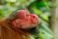 Red Bald Headed Uakari head (Cacajao calvus rubicundus), Lago Preto, Peru.