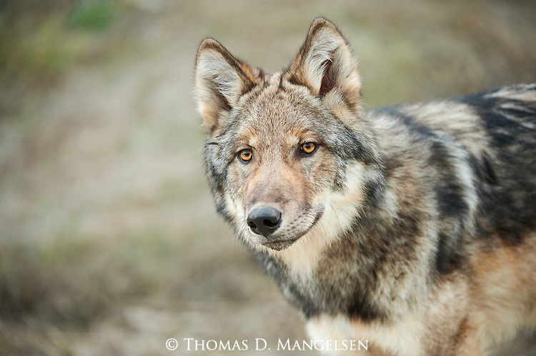 A portrait of a gray wolf pup in Denali National Park, Alaska.