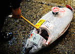 A buyer drags a frozen tuna along the ground to deliver to a customer at the world's largest fish and marine products market in Tsukiji, Tokyo on Monday 30 March 2009.