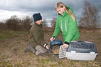 Kinder lassen zwei Wild-Kaninchen, Wildkaninchen, Kaninchen, die zuvor von Hand groß gezogen wurden, in geeignetem Lebensraum frei, Wildtierhilfe, Auswilderung, Oryctolagus cuniculus, Old World rabbit