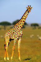 Giraffe in game park, Kenya. Africa...