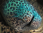 Seven-Star Rock, south of Kenting, Taiwan -- A huge blackspotted moray, peeking out of its hiding hole on a sea mount.<br />