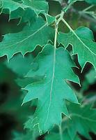 Oak leaf Quercus ithaburensis subsp macrolepsis