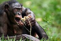 Bonobo female feeding on the roots of water lily (Pan paniscus), Lola Ya Bonobo Sanctuary, Democratic Republic of Congo.