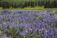 Silky Lupine (Lupinus sericeus), Yellowstone National Park, Wyoming, USA