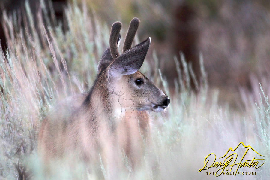 Mule Deer, spike, Sierra Nevada Mountains, Bridgeport, California