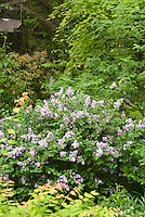 Syringa Palibin littleleaf type in spring bloom with Kolkwitzia Dreamcatcher and Acer griseum