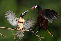 Encounter between a Montezuma Oropendula (Gymnostinops montezuma) and a Collared Aracari (Pteroglossus torquatus)