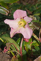 Hellebore hybrid Walberton's Rosemary niger cross