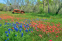 We love these colorful wildflowers of bluebonnets, and indian paintbrush in this field with an old rusty tractor in the Texas Hill Country.