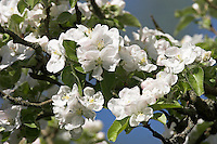 Kultur-Apfel, Apfelbaum, Apfelbaumblüte, Apfel - Baum, Malus domestica, Apple, Pommier commun