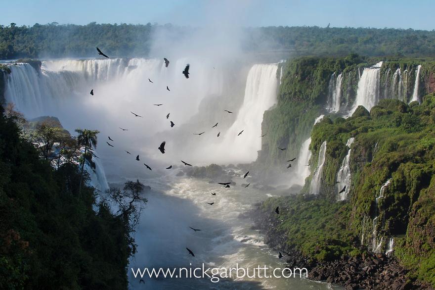 Aggregation / flocks of Black Vultures (Coragyps atratus) circling on morning thermals forming over Iguasu Falls (also Iguazu Falls, Iguazú Falls, Iguassu Falls or Iguaçu Falls), Brazil / Argentina border. Photographed from the Brazilian side of the Falls. State of Paraná, Brasil.