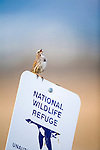 A sparrow singing from the top of a National Wildlife Refuge sign in Montana