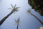 Very tall palm trees from a low angle.