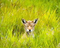 "A coyote is peering out of the grass at viewer in the Ridgefield National Wildlife Refuge.  This photo was selected in the top 10 in the ""2010 Photo of the Year"" photo contest in Portland, OR."