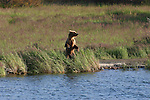 Alaska brown bear standing at Katmai National Park