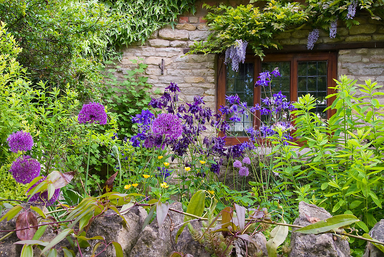 Allium, Thatched house, stone wall, Prunus cherry blossom tree, wisteria, aquilegia in spring garden scene