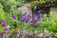 Allium, Thatched house, stone wall, Prunus cherry blossom tree, wisteria, aquilegia in spring garden scene
