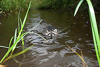 """Waschbär, etwa 4 Monate altes Jungtier sammelt erste Erfahrungen mit dem Element Wasser, schwimmt in einem Bach, Tierkind, Tierbaby, Tierbabies, Männchen, Rüde, Waschbaer, Wasch-Bär, Procyon lotor, Raccoon, Raton laveur, """"Frodo"""""""