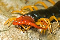 329750008 a wild bright orange and yellow colored texas giant centipede scolopendra heros sits on a rock in the texas hill country in central texas