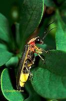 1C24-016a  Firefly - Lightning Bug - Male -  Photinus spp..