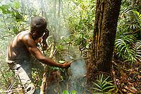 An exceptional harvest of several kilos of honey from the trunk of an oil palm. Today, the oil palms are planted around the villages by the Bantu farmers following slash-and-burn and we can also find them near the camps of pygmies who consume them and thus scatter the fruit and seeds in the forest.///Récolte exceptionnelle de plusieurs kilos de miel dans le tronc d'un palmier à huile. Les palmiers à huile sont aujourd'hui plantés autour des villages par les fermiers bantous après les brulis et l'on en trouve également près des campements pygmées qui le consomment et ainsi dispersent les fruits et les graines en forêt.