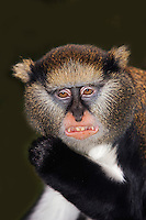 Campbell's Monkey (Cercopithecus campbelli) showing teeth, Captivity.