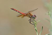 362700036 male band-winged meadowhawk sympetrum semicintum wild california