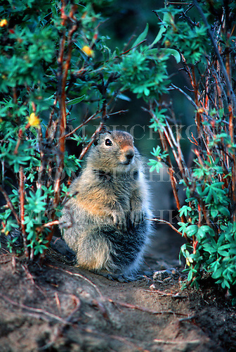 Arctic ground squirrel - Spermophilus parryii, Denali National Park, Alaska.