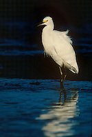 525003011 a wild adult great egret in breeding plumage casmerodius albus wades in shallow water in a small estuary in sal elijo lagoon in san diego county california
