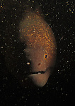 Kenting, Taiwan -- Encounter in the dark with a yellowmargin moray eel.<br />