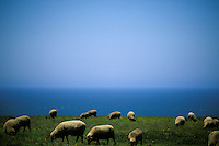 California, Point Arena, Sheep grazing on coastal bluff