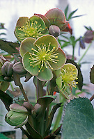Helleborus sternii Blackthorn Group Hellebore shade perennial