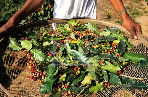 Vale do Paraiba, Brazil. Coffee harvest, beans and leaves on a large hand held sieve. Rio de Janeiro State.