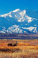 Bull moose in autumn tundra grasses in front of Mount McKinley (Denali) in Denali National Park, Alaska.