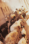 Goats and sheeps runing through a narrow street inside the old Kasbah of M'hamid.