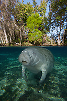 RQ0070-D. Florida Manatee (Trichechus manatus latirostris), split view showing above and below the water level in a freshwater spring. Florida, USA.<br /> Photo Copyright &copy; Brandon Cole. All rights reserved worldwide.  www.brandoncole.com