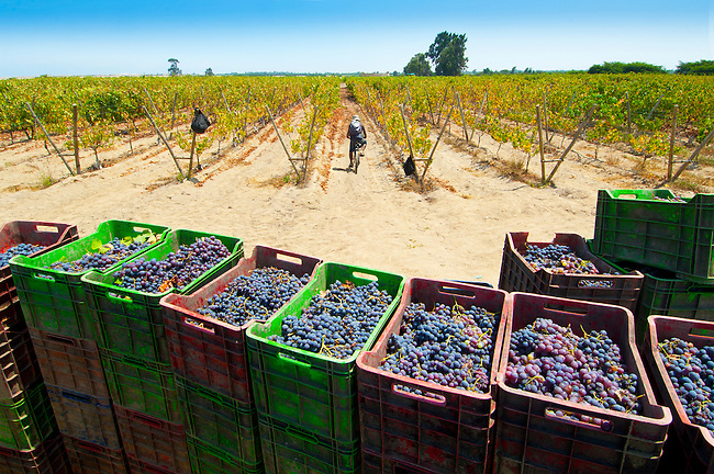 Stacked crates of harvested grapes on a wine vineyard in the grape producing region of Ica, Peru.