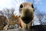 Cindy, a Belgian horse owned by Matt Magee of London, Ky., sticks her nose across a fence off East Fourth Street in London on Friday, Oct. 26, 2012. Photo by Becca Clemons