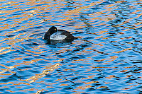 A Scaup, its bill tucked under its wing, floats on the rippled waters of San Leandro Bay.