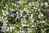 Mockorange Philadelphus 'Manteau d'Hermine' bush shrub with double white flowers