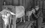 """December 1971:  Modesto, California—Dad Walkling— Dad nuzzles Brigette's kid at milking time.  I first met Orlando """"Dad"""" Walkling at his house in the airport district of Modesto just before his 104th birthday.  Walkling was born in Indian Territory January 2, 1868, near a town now called McAlester, Oklahoma.  His mother was Shawnee and his father, whom he didn't remember, was an Englishman named Orlando.  He later used the name Walkling instead of his Indian name of Skipocase.  On September 16, 1893, Skipocase O. Walkling, then 25 years old, was among thousands of settlers who rode into the Cherokee Strip Land Run of Oklahoma to make a free land claim.  Walkling told of how he rode into the 226-mile long """"Strip"""" to claim 160 acres.  """"There were thousands of men who waited at the line until noon that day.  The army gun was fired and chaos broke out. Every man carried a gun. There was no law, no sheriff, nothing.  People had to fight for their claim even though they were first.""""  Walkling made a claim, but later gave it up when he had a chance to farm a piece of land in Noble County, Oklahoma.  He cleared the land with six yoke of oxen and planted peach orchards.  He and his first wife ran a combination grocery store and hotel there.  He had nearly 1,000 trees and began a cannery to process the crops.  """"One day when the train came in a woman dressed like a Salvation Army woman handed me a bundle as I stood on the ramp, then she jumped back into the train.  I opened it and there was a pair of twins, a boy and a girl,"""" Walkling said.  He and his wife did not have children, so they adopted the twins legally and raised them.  He said they raised six others but did not adopt them.  He came to Modesto in 1944 at 76 years of age and went to work for a meat firm before he opened a poultry store.  After that store closed, he made bullwhips and wove rope for truckers at his home.  In 1968, Dad Walking, then 100 years old, visited Oklahoma for the 75th anniversary of t"""