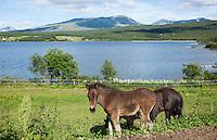 Icelandic horse, foal. Føll av islandshest, Stugudal i Tydal.